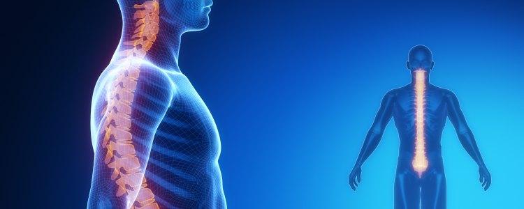 Bänder der Wirbelsäule - Anatomie